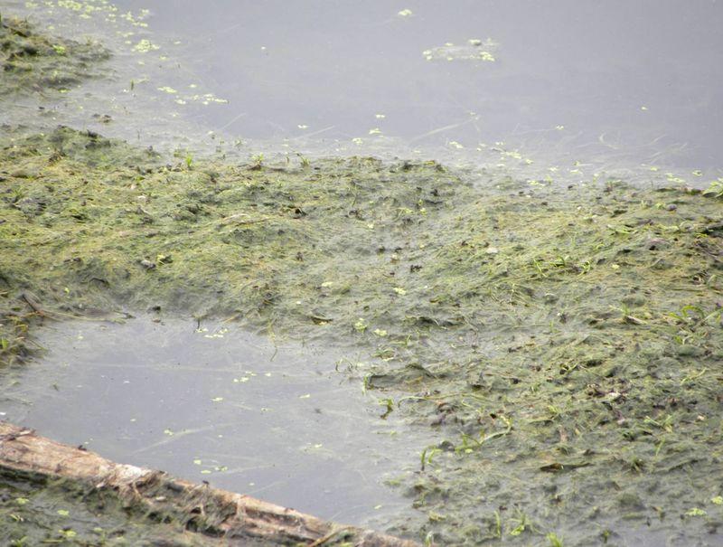 2009 algae 1
